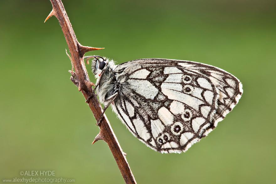 Marbled White Butterfly {Melanargia galathea},  Midi-Pyrenees,  Pyrenees, France. August.