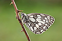 Marbled White Butterfly {Melanargia galathea},  Midi-Pyrenees,  Pyrenees, France. August.
