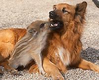 Wildschwein-Frischling, Frischling, Jungtiere werden von Hand aufgezogen, Haushund spielt mit den Schweinchen, Sus scrofa, Wildschwein, Schwarzwild, wild boar, pig