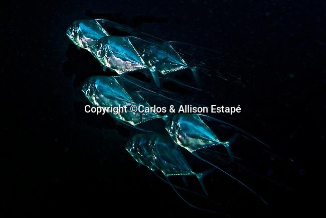 Alectis ciliaris, African pompano, intermediate, Jupiter, Florida