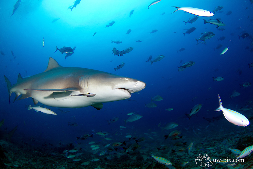 The sicklefin lemon shark or sharptooth lemon shark (Negaprion acutidens) is a species of requiem shark, family Carcharhinidae, widely distributed in the tropical waters of the Indo-Pacific. It is closely related to the better-known lemon shark (N. brevirostris) of the Americas; the two species are almost identical in appearance, both being stout-bodied sharks with broad heads, two dorsal fins of nearly equal size, and a plain yellow-tinged coloration. As its common name suggests, the sicklefin lemon shark differs from its American counterpart in having more falcate (sickle-shaped) fins. This large species grows up to 3.8 m long. It generally inhabits water less than 90 m deep in a variety of habitats, from mangrove estuaries to coral reefs.<br /> A slow-moving predator feeding mainly on bony fishes, the sicklefin lemon shark seldom travels long distances and many individuals can be found year-round at certain locations. Like other members of its family, this species is viviparous with females giving birth to no more than 13 pups every other year, following a gestation period of 10&ndash;11 months. Although they are potentially dangerous to humans and known to respond vigorously to any provocation, under normal circumstances sicklefin lemon sharks are cautious and tend to retreat if approached. The International Union for Conservation of Nature (IUCN) has assessed this species as Vulnerable; its low reproductive productivity and rate of movement limits the capacity of depleted stocks to recover. Off India and Southeast Asia, this species has been severely depleted or extirpated by unregulated exploitation for its meat, fins, and liver oil.