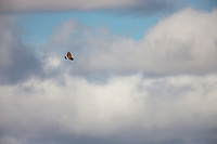 Rough legged hawk soars in the thermals, National Petroleum Reserve, Alaska.