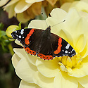 Red Admiral (Vanessa atalanta) on rose, mid August.