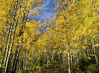 Fall Aspens in Colorado.