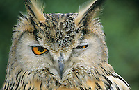 Turkmenischer Uhu, Portrait, Turkmenischer-Uhu, Turkmenen-Uhu, Bubo bubo omissus, Turkmanian Eagle-Owl