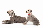 Bedlington Terrier, Pair together, Studio, White Background