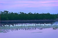 "A flock of American White Pelicans (Pelacanus erythrorynchos) settle in to roost for the night at   J.N. ""Ding"" Darling National Wildlife Refuge, Florida"