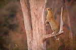 Botswana, Chobe National Park, Savuti, female leopard (Panthera pardus) jumping up tree