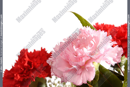 Three carnations isolated on white. Greeting card background