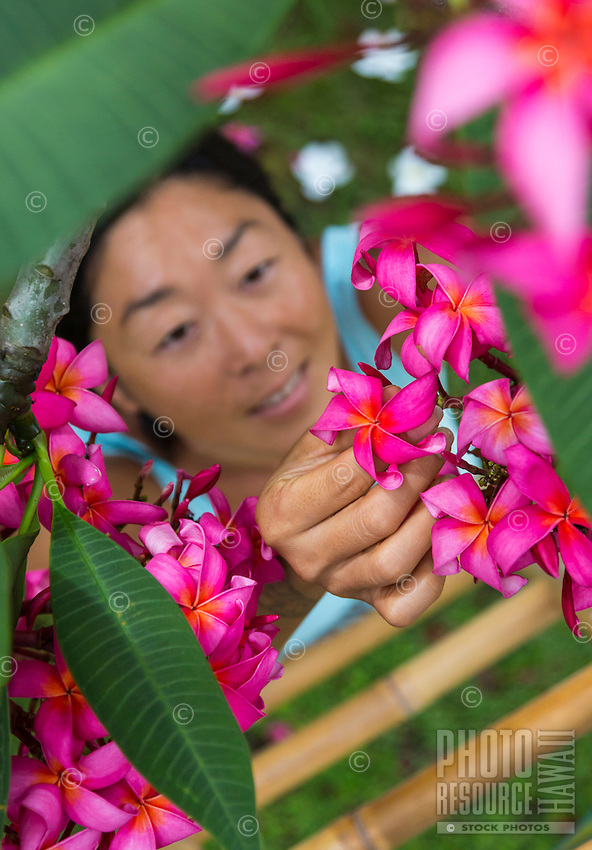 A local woman uses a ladder to pick pink plumeria flowers in a yard on O'ahu.