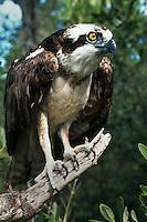 Osprey on tree branch, Florida Keys Wild Bird Sanctuary. Tavernier, Florida.