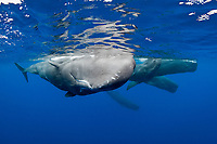 sperm whale, or cachalot, Physeter macrocephalus, pod, socializing, Dominica, Caribbean Sea, Atlantic Ocean, permit # RP 13/365 W-03