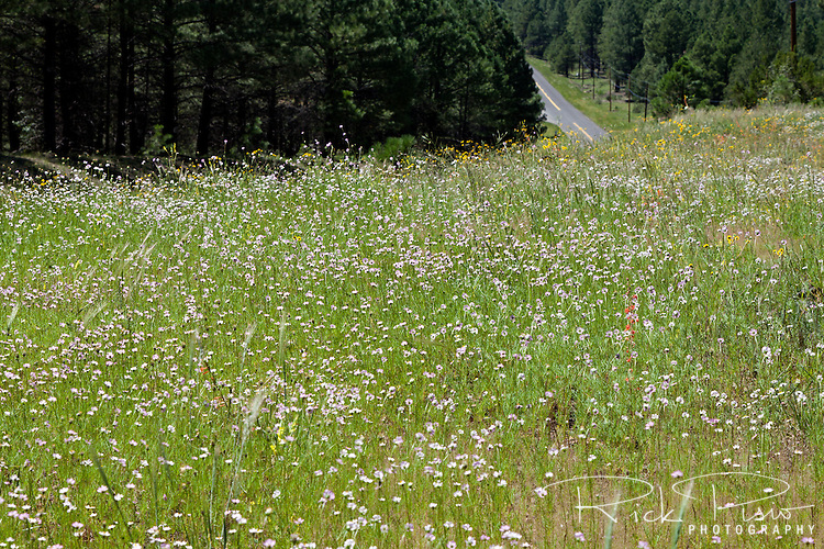 Wildflowers cover a hillside above Route 66 near Parks, Arizona.