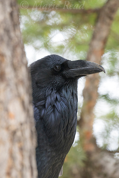 Common Raven (Corvus corax), closeup, showing distinctive nasal bristles covering the nostrils, Lamar Valley, Yellowstone National Park, Wyoming, USA