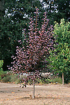 12763-CC Canadian Red Chokecherry Tree, Prunus virginiana, in October, at Mourning Cloak Ranch & Botanical Garden, Tehachapi, CA USA