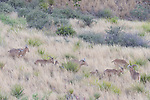 Davis Mountains State Park, Fort Davis, Texas; a small herd of Barbary sheep (Ammotragus lervia) moving across the tall grass on a rocky hillside at dusk