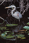 great blue heron at Everglades National Park