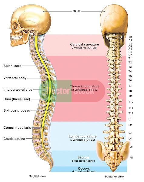 Anatomy of the Vertebral Column (Spine) | Doctor Stock