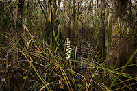 Fragrant ladies'-tresses deep in a slough in the Big Cypress National Preserve. It's tough travel through these flooded forests, but many kinds of orchids can be found here together.