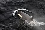Orca, killer whale, seen from the bow of the Esperanza, Ross Sea..© Dave Walsh