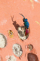 Gemeine Goldwespe, Feuer-Goldwespe, Feuergoldwespe, Goldwespe, Gold-Wespe, an einer Wildbienen-Nisthilfe, Chrysis terminata, Chrysis ignita Gruppe, Artengruppe, common gold wasp, gold wasp, ruby-tail, ruby-tailed wasp, Goldwespen, Chrysididae, cuckoo wasp, cuckoo wasps, gold wasps