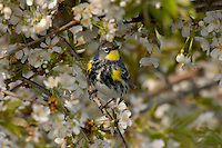 Yellow-rumped warbler (Dendroica coronata) in flowering cherry tree.  Pacific Northwest.  Spring..