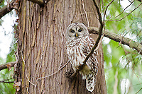 Barred Owl, Seattle, Washington