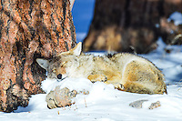 A coyote in Rocky Mountain National Park catches a few winks in the warmth of the sun.