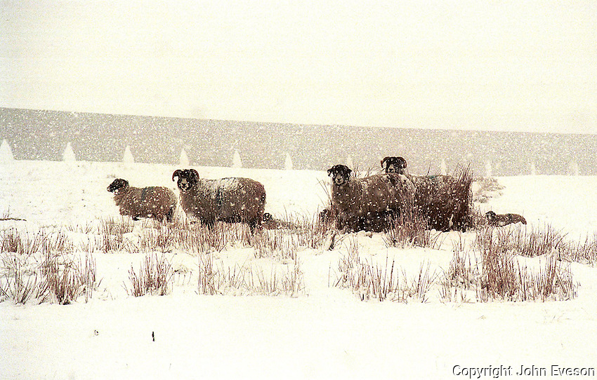 Swaledale sheep in a snowstorm in front  Ribbleshead viaduct, Horton in Ribblesdale, North Yorkshire.