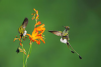 Booted Racket-tail (Ocreatus underwoodii), males fighting over flower,Mindo, Ecuador, Andes, South America