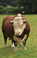 Traditional Hereford bull, Cheshire....Copyright..John Eveson, Dinkling Green Farm, Whitewell, Clitheroe, Lancashire. BB7 3BN.01995 61280. 07973 482705.j.r.eveson@btinternet.com.www.johneveson.com