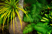 Close up of bulbous Pony Tail Palm tree with ferns and bromeliads. Mauai, Hawaii