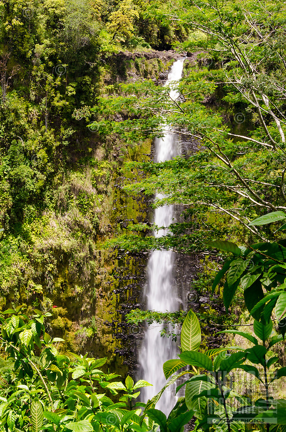 Beautiful 'Akaka Falls is 442 feet tall along a 0.4-mile loop hiking trail through a tropical rainforest, 'Akaka Falls State Park, Honomu, Hamakua coastline, Big Island.