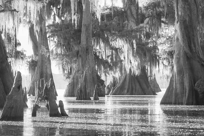 Sunrise light slowly filters through these old bald cypress in the Atchafalaya swamplands.