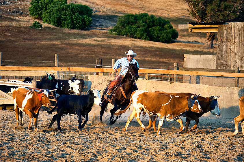 Cowboy Ron Garcia sorting roping steers in the arena. San Luis Obispo, California