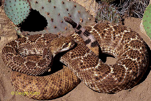 1R15-041d  Western Diamondback Rattlesnake - Crotalus atrox - Southwestern desert