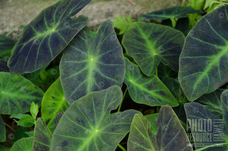 Deep green and purple taro (or kalo) leaves in a garden on the Big Island.