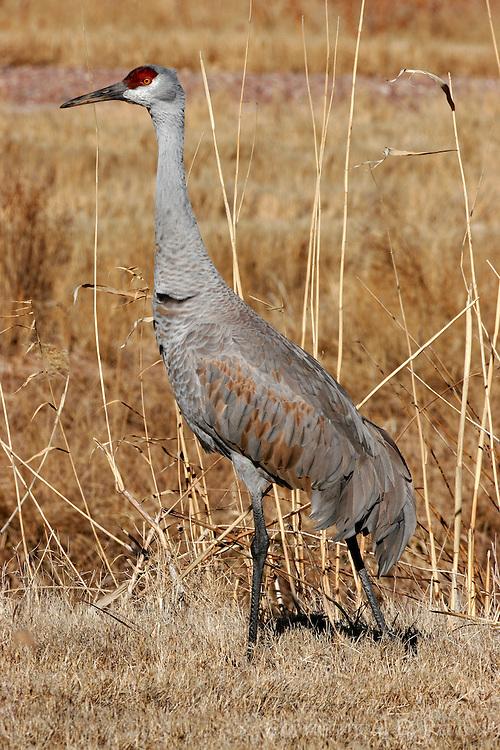 Greater sandhill crane winter adult standing in field
