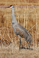 Greater sandhill crane winter adult standing in field