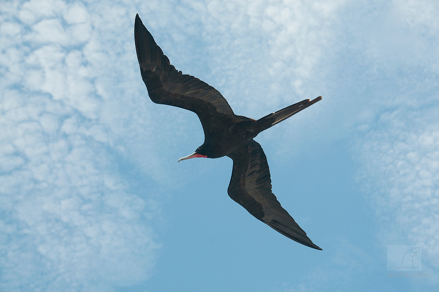 flying frigatebird galapagos
