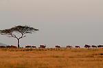A herd of wildebeest invade the horizon in Africa