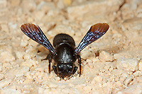 Schwarze Mörtelbiene, sammelt Lehm zum Nestbau, Megachile parietina, Chalicodoma parietinum, Chalicoderma muraria, wall bee, mason bee, Mortar bee