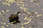 A little turtle sunning itself in the morning and a small outcrop in a lagoon, Japan.