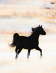 A black horse trotting across a grassy field in the foothills of the Rocky Mountains in western Montana