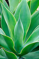 close-up of bright green symmetrical agave plant in sunlight. drought tolerant, garden, gardening, plants, botany, succulent. California.