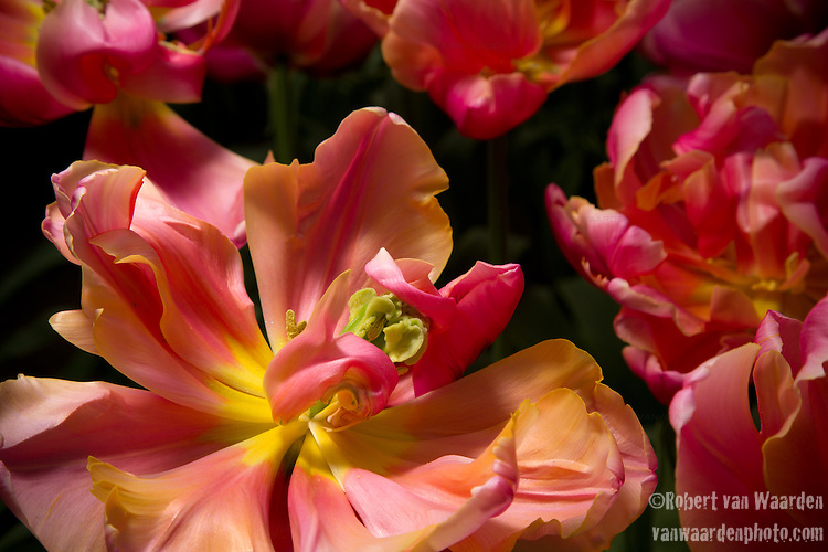 The tulip Pissaro at the Keukenhof in the Netherlands.