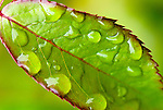 Raindrops on a Lyda rose leaf, Washington county, Oregon