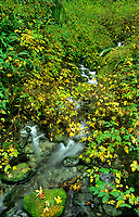 769550313 a small peacefully flowing stream meanders through a lush green temperate rainforest along the redwood trail near brookings oregon