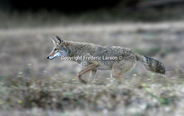 A wild coyote runs through a meadow in the National Golden Gate Park not far from Point Bonita in the Marin Headlands.