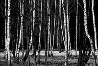Auschwitz / Poland 2011.Auschwitz/Birkenau Nazi extermination camp. Forest of trees near Crematorium..Photo Livio Senigalliesi